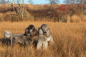 RF - Domestic Standard poodles in salt marsh, Waterford, Connecticut, USA. December 2012. (This image may be licensed either as rights managed or royalty free.)  -  Lynn M Stone