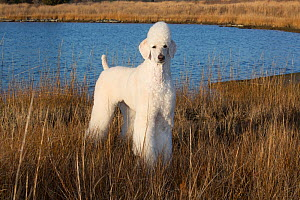 Standard Poodle in salt marsh, Waterford, Connecticut, USA  -  Lynn M Stone