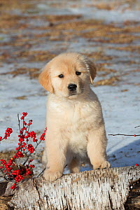 Golden retriever puppy, age 9 weeks in early January, Spencer, Massachusetts, USA - Lynn M Stone
