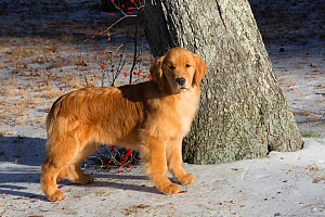 Young Golden retriever, age 4 months, in early January, Spencer, Massachusetts, USA. - Lynn M Stone
