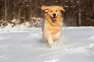 RF - Domestic male Golden retriever running in snow. Franklin, Connecticut, USA. January. (This image may be licensed either as rights managed or royalty free.) - Lynn M Stone