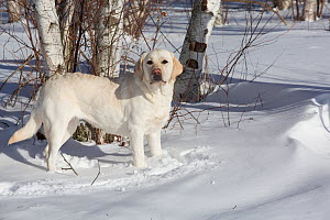 Yellow Labrador retriever in fresh snow, Clinton, Connecticut, USA - Lynn M Stone