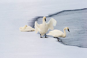 RF - Trumpeter Swans (Cygnus buccinator) on edge of Upper Yellowstone River. Hayden Valley, Yellowstone National Park, Wyoming, USA. January. (This image may be licensed either as rights managed or ro... - Nick Garbutt