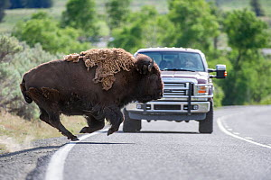 American bison (Bison bison) running in front of a tourist vehicle on the road through the Lamar Valley. Yellowstone National Park, Wyoming, USA. June  -  Nick Garbutt