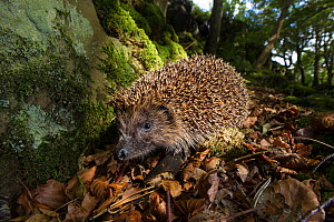 European or Common hedgehog (Erinaceus europaeus) foraging in leaf litter. Isle of Mull, Scotland, UK, June.  -  Nick Garbutt