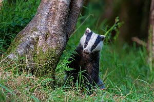 European badger (Meles meles) foraging in deciduous woodland. June, Mid Devon, UK.  -  Nick Garbutt