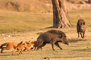 Indian Wild Dogs or Dhole (Cuon alpinus) attacking / hunting a Wild boar. Pench National Park, Madhya Pradesh, India.  -  Nick Garbutt