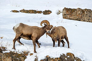 Rocky Mountain Bighorn Sheep (Ovis canadensis canadensis) male sparring / fighting Lamar Valley, Yellowstone National Park, Wyoming, USA. January - Nick Garbutt