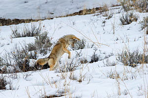 Coyote (Canis latrans) pouncing,  hunting for rodents in snow. Lamar River Valley, Yellowstone National Park, Wyoming, USA.  -  Nick Garbutt