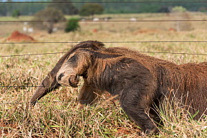 Adult Giant Anteater (Myrmecophaga tridactyla) climbing through a cattle fence. Southern Pantanal, Moto Grosso do Sul State, Brazil. September. - Nick Garbutt