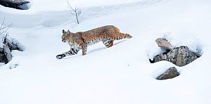 North American bobcat (Lynx rufus) striding through deep snow. Madison River Valley, Yellowstone National Park, Wyoming, USA. January - Nick Garbutt
