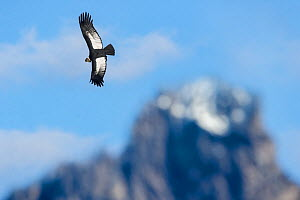 RF - Andean condor (Vultur gryphus) flying over Torres del Paine Massif. Torres del Paine National Park, Chilean Patagonia, Chile. March. (This image may be licensed either as rights managed or royalt...  -  Nick Garbutt