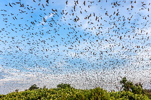 RF - Straw-coloured fruit Bats (Eidolon helvum) returning to roost in early morning. Kasanka National Park, Zambia. November 2015. (This image may be licensed either as rights managed or royalty free.... - Nick Garbutt