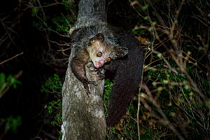 RF - Aye-aye (Daubentonia madagascariensis) female foraging in the middle canopy / understorey of dry deciduous forest at night. Northern Madagascar. Endemic. Endangered. (This image may be licensed e...  -  Nick Garbutt