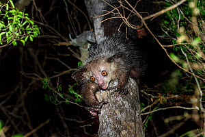 Aye-aye (Daubentonia madagascariensis) female foraging in the middle canopy  of dry deciduous forest at night. Andranotsimaty, Daraina, northern Madagascar. Endemic. Endangered.  -  Nick Garbutt