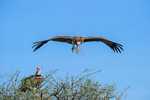 Lappet-faced vulture (Torgos tracheliotos) carrying nesting material returning to its mate at the nest. Serengeti National Park, Tanzania.  -  Nick Garbutt