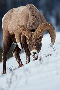 Rocky Mountain Bighorn Sheep (Ovis canadensis canadensis) male searching for grazing beneath deep snow. Lamar Valley, Yellowstone National Park, Wyoming, USA. January - Nick Garbutt