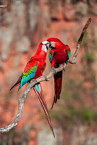 Red-and-green macaws (Ara chloropterus) preening / interacting. Buraco das Araras (Sinkhole of the Macaws), Jardim, Mato Grosso do Sul, Brazil. September.  -  Nick Garbutt