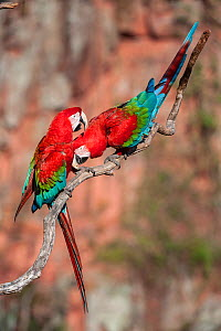 RF - Pair of Red-and-green macaws  (Ara chloropterus) preening. Buraco das Araras (Sinkhole of the Macaws), Jardim, Mato Grosso do Sul, Brazil. September. (This image may be licensed either as rights...  -  Nick Garbutt