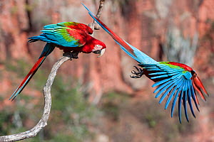 RF - Red-and-green macaws  (Ara chloropterus) two with one taking off, Buraco das Araras (Sinkhole of the Macaws), Jardim, Mato Grosso do Sul, Brazil. September. (This image may be licensed either as...  -  Nick Garbutt