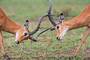 RF - Male Impala (Aepyceros melampus) fighting / sparring. Serengeti National park, Tanzania. March. (This image may be licensed either as rights managed or royalty free.) - Nick Garbutt