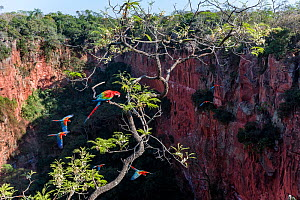 Red-and-green macaws (Ara chloropterus) perched and in flight over Buraco das Araras, the Sinkhole of the Macaws, Jardim, Mato Grosso do Sul, Brazil. September.  -  Nick Garbutt