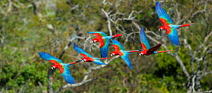RF - Red-and-Green Macaws or Green-winged Macaws (Ara chloropterus) in flight over forest canopy. Buraco das Araras (Sinkhole of the Macaws), Jardim, Mato Grosso do Sul, Brazil. September. (This image...  -  Nick Garbutt