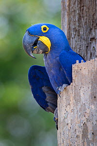 RF- Hyacinth macaw (Anodorhynchus hyacinthinus) in its nest hole. Pousada Aguape Lodge, Mato Grosso do Sul State, Brazil. September. (This image may be licensed either as rights managed or royalty fre...  -  Nick Garbutt