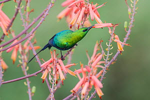 RF - Malachite sunbird (Nectarinia famosa)  male feeding on Aloe flower. Ndutu area, Ngorongoro Conservation Area NCA / Serengeti National Park. April. (This image may be licensed either as rights man...  -  Nick Garbutt