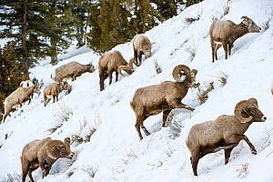 RF - Rocky Mountain bighorn sheep (Ovis canadensis canadensis) searching for grazing beneath deep snow. Lamar Valley, Yellowstone National Park, Wyoming, USA. January. (This image may be licensed eith... - Nick Garbutt