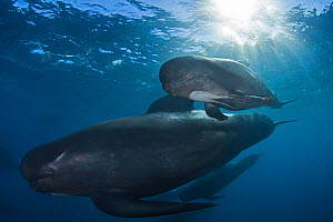 Short-finned pilot whale Globicephala macrorhynchus) with calf, Cape Point, South Africa, March. - Chris & Monique Fallows