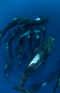 Short-finned pilot whale (Globicephala macrorhynchus) pod with calf, Cape Point, South Africa, March. - Chris & Monique Fallows