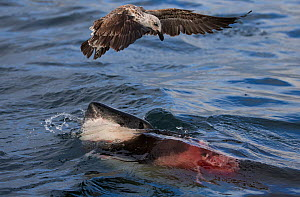 Great white shark (Carcharodon carcharias) which is eating a Cape fur seal under the water, with a Kelp gull (Larus dominicanus) flying over scavenging, Seal Island, False Bay, South Africa, June.  -  Chris & Monique Fallows