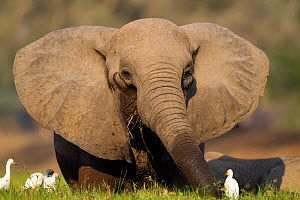 African elephant (Loxodonta africana) resting with Cattle egrets (Bubulcus ibis) Mana Pools National Park, Zimbabwe. - Chris & Monique Fallows