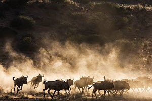 Wildebeest (Connochaetes taurinus) herd with dust flying up around them, Kagalagadi National Park, South Africa.  -  Chris & Monique Fallows