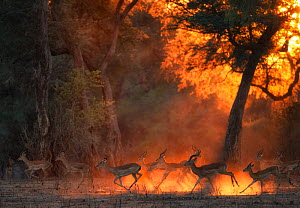 Impala (Aepyceros melampus) herd at dawn, Mana Pools National Park, Zimbabwe, October.  -  Chris & Monique Fallows