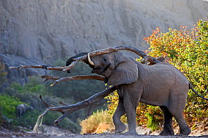 African elephant (Loxodonta africana), bull trying to attract female, Hoanib River, Namibia, November. - Chris & Monique Fallows
