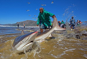 Bronze whaler shark (Carcharhinus brachyurus), caught in traditional seine net and released by fisherman, Muizenberg beach, Cape Town, South Africa, January 2014  -  Chris & Monique Fallows