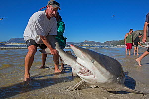 Bronze whaler shark (Carcharhinus brachyurus), caught in traditional seine net and released by fisherman, Muizenberg beach, Cape Town, South Africa, January 2014.  -  Chris & Monique Fallows