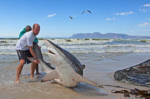 Bronze whaler shark (Carcharhinus brachyurus), caught in traditional seine net and released by fisherman, Muizenberg beach, Cape Town, South Africa, January.  -  Chris & Monique Fallows