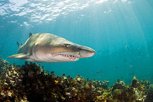 Ragged tooth shark (Carcharias taurus), De Hoop Nature Reserve, South Africa, March.  -  Chris & Monique Fallows