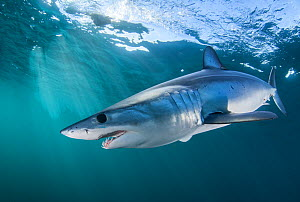 Mako shark (Isurus oxyrinchus) near surface, Cape Point, South Africa, March 2015  -  Chris & Monique Fallows
