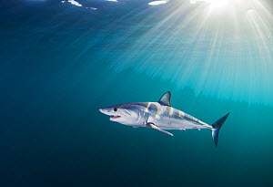 Mako shark (Isurus oxyrinchus) with sunrays, Cape Point, South Africa, March. - Chris & Monique Fallows