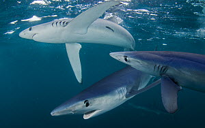 Blue shark (Prionace glauca) group of three, Cape Point, South Africa, February. - Chris & Monique Fallows