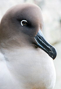 Light-mantled sooty albatross (Phoebetria palpebrata) portrait, South Georgia, January.  -  Chris & Monique Fallows