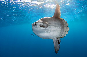 Sunfish (Mola mola) at Cape Point, South Africa. - Chris & Monique Fallows