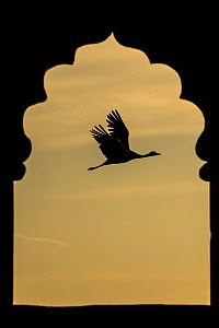 Demoiselle crane (Anthropoides virgo) flying silhouetted and framed by Jarokha  (carved windows) of a Haveli or townhouse.   Khichan, Western Rajasthan, India. December.  -  Yashpal Rathore