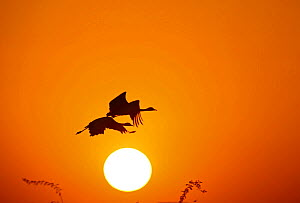 Demoiselle crane (Anthropoides virgo) pair flying at sunrise during winter migration. Western Rajasthan, India. December. - Yashpal Rathore