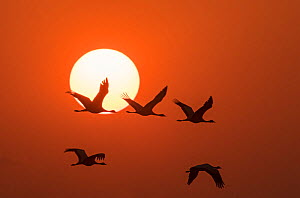 Demoiselle cranes (Anthropoides virgo) flying at sunrise during migration. Khichan, Western Rajasthan, India. December.  -  Yashpal Rathore