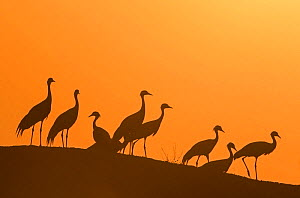 Demoiselle cranes (Anthropoides virgo) silhouetted at dusk on a wall during their winter migration.Khichan, Western Rajasthan, India. February.  -  Yashpal Rathore